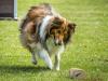 Lassie beim Apportieren